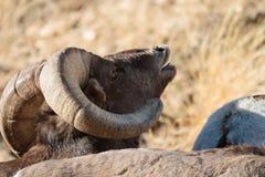 Colorado Rocky Mountain Bighorn Sheep Stock Photography