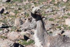 Colorado Rocky Mountain Bighorn Sheep. Bighorn sheep are wild animals in the Rocky Mountains of Colorado Stock Photography