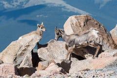 Colorado Rocky Mountain Bighorn Sheep. Bighorn sheep are wild animals in the Rocky Mountains of Colorado Royalty Free Stock Image