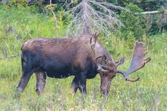Shiras Moose in the Rocky Mountains of Colorado. Colorado Rocky Mountains - Shiras Moose in the Wild royalty free stock image