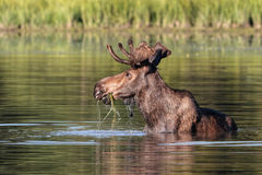 Colorado Shiras Moose royalty free stock photos
