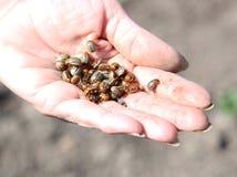 Colorado skalbaggar i handen Arkivfoto