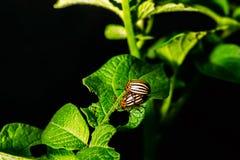 Colorado skalbaggar i processen av reproduktionen Arkivbilder