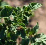 Colorado skalbaggar på potatisen Fotografering för Bildbyråer