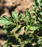 Colorado skalbaggar på potatisen Royaltyfri Bild