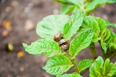 Colorado skalbaggar sitter på ett ljust - den gröna växten arkivbild