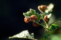 Colorado skalbaggar som äter potatisväxten Royaltyfri Foto