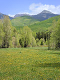 Colorado Spring. Wildflower covered field before green forest extending up into mountains in the background. Portrait orientation stock photo