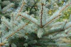 Colorado spruce Stock Image