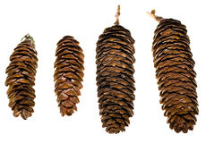 Colorado Spruce Cones Stock Images