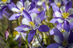 Colorado State Flower Blue Columbines Stock Image