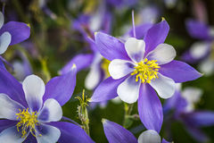 Colorado State Flower Blue Columbines Stock Images