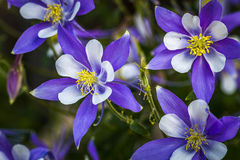 Colorado State Flower Blue Columbines Royalty Free Stock Image