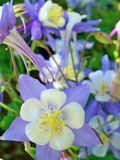 Colorado State Flower Columbine Close up stock images
