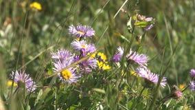 Colorado summer purple flowers stock footage
