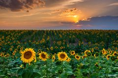 Colorado Sunflowers At Sunset stock images