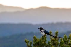 Colorado svart fakturerad skata Royaltyfria Bilder