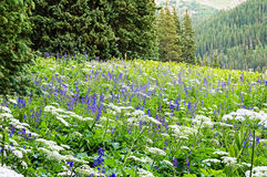 Colorado Wildflower Meadow Royalty Free Stock Images
