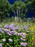 Colorado Wildflowers with Aspen Stock Images