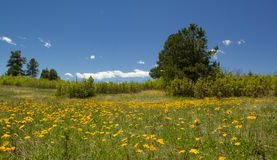 Colorado-Wildflowers mit klarem blauem Himmel Stockfotos
