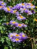 Colorado Wildflowers Stock Photography