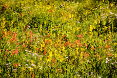 Colorado Wildflowers Yellow, Red, Pink Meadow Royalty Free Stock Images