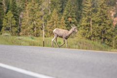 Colorado Wildlife deer crossing the road Stock Photos