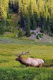 Colorado Wildlife - Elk Stock Photos