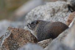 Colorado wildlife mountain marmot Stock Images