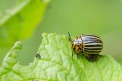 Coloradokevers op aardappel Stock Afbeelding