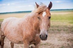 Colorante raro del caballo rojo en el campo imagen de archivo libre de regalías