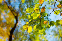 Coloration. A branch with leaves in Autumn colors Stock Photo