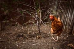 Coloration rustique de brun de poulet sur un fond d'herbe photo stock