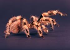 coloratovillosus nhandu Zdjęcie Royalty Free
