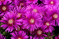 A Colorburst of Pink Asters Provide Pop Royalty Free Stock Photo