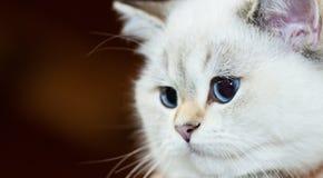 Colore bianco del gatto britannico con gli occhi azzurri fotografia stock