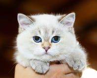 Colore bianco del gatto britannico con gli occhi azzurri fotografia stock libera da diritti