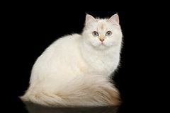 Colore bianco del gatto britannico simile a pelliccia su fondo nero isolato Fotografia Stock