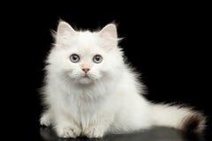 Colore bianco di Britannici del gattino simile a pelliccia della razza su fondo nero isolato Fotografia Stock