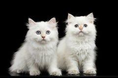 Colore bianco di Kitty della razza simile a pelliccia di Britannici su fondo nero isolato Immagini Stock