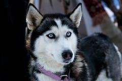 Cane nero con gli occhi azzurri stock photos 507 images - Husky con occhi diversi ...