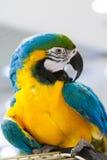 Colore blu e giallo dell'ara Immagini Stock Libere da Diritti