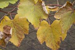 Colore cambiante della foglia da verde a giallo ed a arancio durante la stagione di caduta Immagine Stock Libera da Diritti