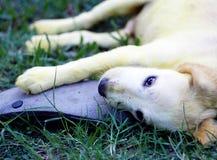Colore che giallo dell'oro poco cucciolo di cane lungo sveglio dei peli con la pelle di scabbia ha trattato con la medicina domes fotografia stock