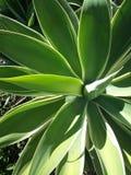 Colore del cactus Immagini Stock