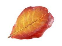 Colore del cambiamento delle foglie Immagini Stock