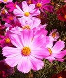 Colore del fiore dell'agricoltura della Tailandia bello Immagine Stock