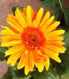 Colore del fiore dell'agricoltura della Tailandia bello Immagini Stock