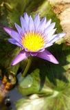 Colore del fiore dell'agricoltura della Tailandia bello Fotografie Stock