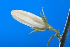 Colore del fiore di Rosen Immagine Stock